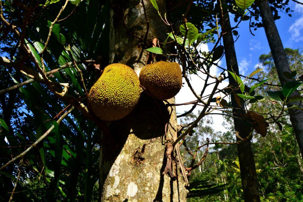 jackfruit, ovoce
