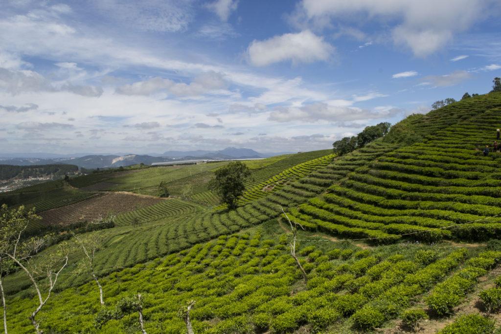 čaj, plantáž, vietnam