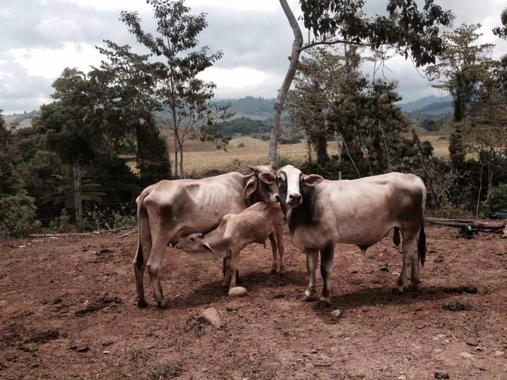 dobytek, krávy, býk